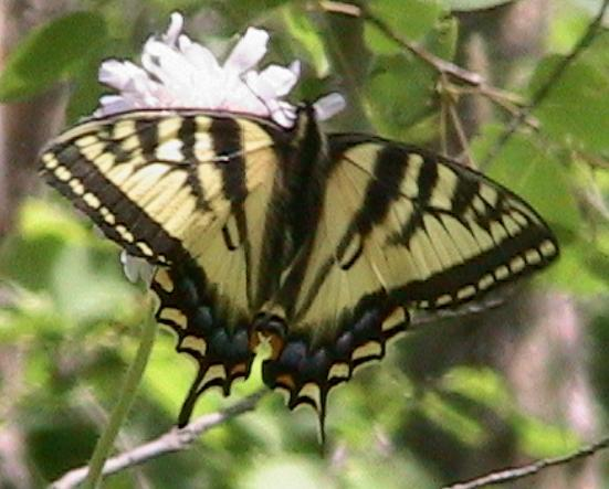Swallowtail. Photo: Wayne Brehaut, Canadian Tiger Swallowtail